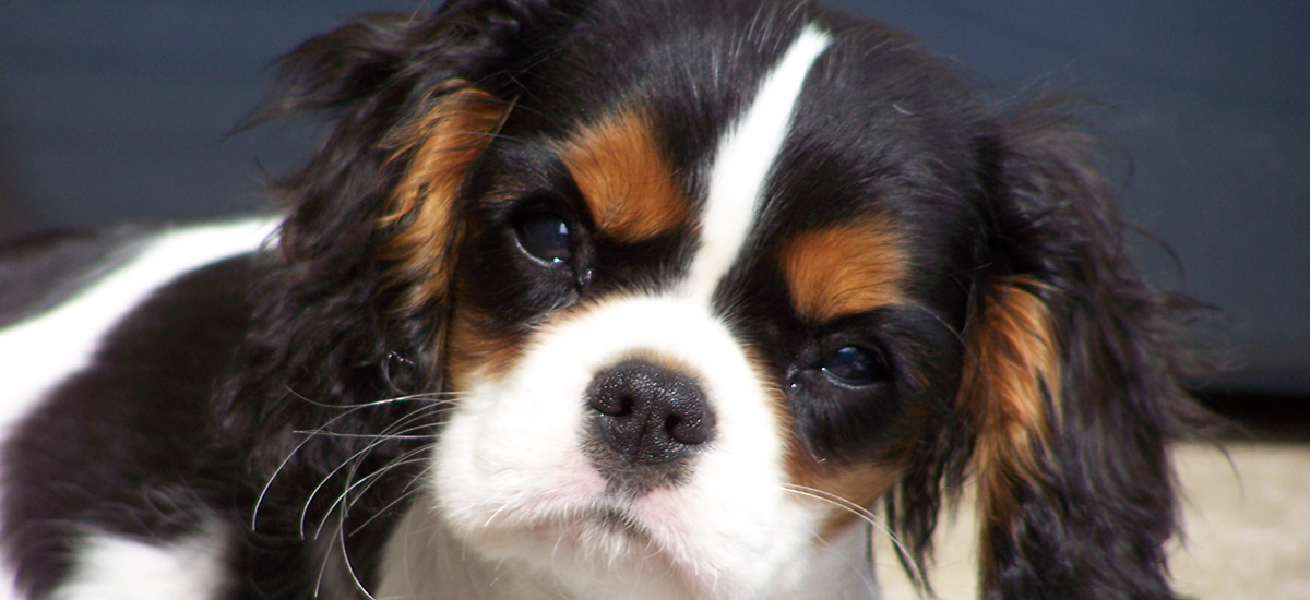 Gillcrest Cavaliers-Cavalier King Charles Puppy Adoption Process