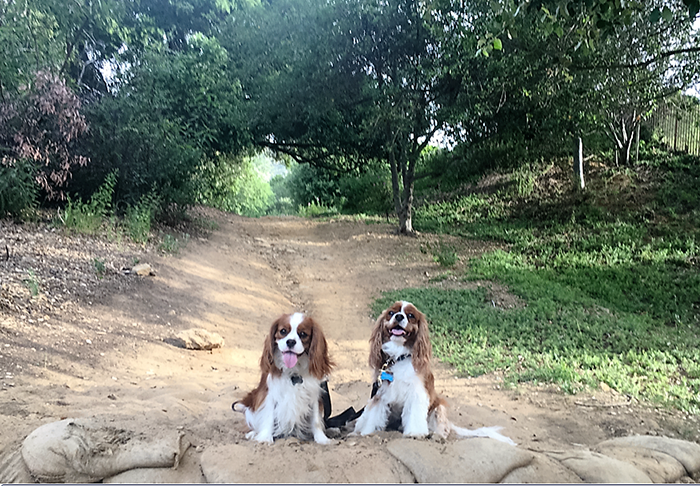 Jax and Rusty from Gillcrest Cavaliers